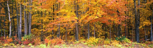 Panoramic Forest Landscape