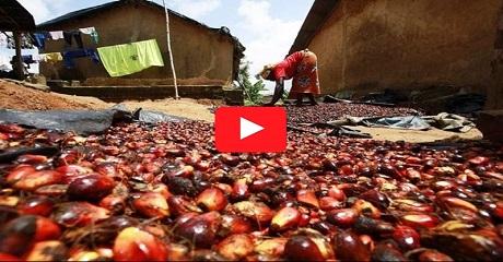 Palmiye yağının Afrika ve Nijerya da ilkel üretimi
