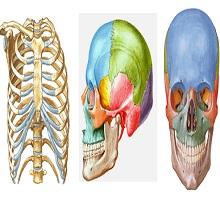Hareket sistemi ve Kemikler